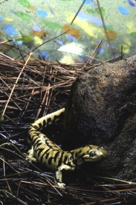 The tiger salamander is among those amphibians threatened by the chytid fungus. (Photo by Jessie Cohen)