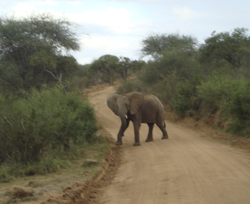 Elephants always have the right of way. (Photo courtesy of Wayne Clough)