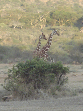 Two giraffes pay an early morning visit. (Photo by Wayne Clough)