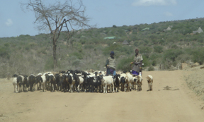 Goats and cattle have contributed to overgrazing of community lands near Mpala. (Photo by Wayne Clough)