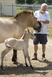 "Greg Peterson with the Zoo's newest Przewalski's horse, a colt born on June 10, and his mother, Brandy. Przewalski's horses were thought to be extinct in the wild due to hunting, climate change and loss of habitat and water sources. However, thanks to conservation efforts by the Zoo and other institutions, breeding programs have successfully reintroduced some of the animals back into the wild. They are now considered ""critically endangered.""  (Photo by Mehgan Murphy)"