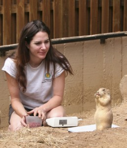 "Kristen Clark waits patiently as she earns the trust of one of the Zoo's prairie dogs.  Prairie dogs' social structure is much like that of humans —they live in family groups, which cluster in neighborhoods, which are all part of a larger ""town"" or ""colony.""  The colony lives in an underground tunnel system with many chambers. Prairie dog family members greet one another with what looks like a kiss. They're not really kissing, though—they're gently touching their front teeth together. This is how prairies dogs recognize each other. (Photo by Heidi Helmuth)"