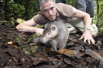 BBC wildlife cameraman Gordon Buchanan and a Mt. Bosavi giant wooly rat. The animal demonstrated no fear of humans. (Photo courtesy of BBC/Jonny Keeling)