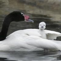 Black-necked swans