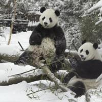 Giant pandas Mei Xiang and Tian Tian