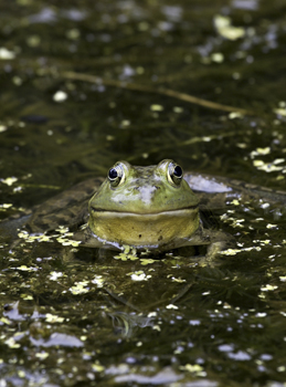 The American bullfrog is one of many species used in the international  frog leg trade. (Photo by Mehgan Murphy)