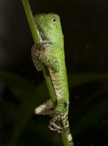 Chameleon forest dragon hatchling (Photo by Mehgan Murphy)