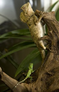 Adult chameleon forest dragon and hatchling (Photo by Mehgan Murphy)