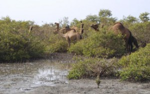 Camels grazing on mangroves in Saudi Arabia. (Photo by Dennis Whigham)