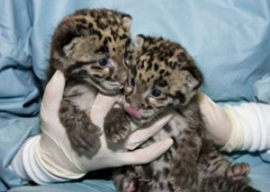 These clouded leopard cubs were born in March 2009 at the Zoo's Conservation and Research Center. (Photo by Mehgan Murphy)