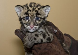 A seven-week-old clouded leopard cub born at the National Zoo's Conservation and Research Center in March 2009. (Photo by Mehgan Murphy)