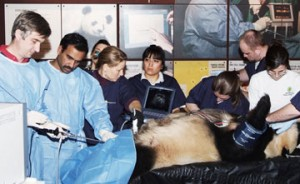 A team of Smithsonian scientists and veterinarians prepare giant panda Mei Xiang for artificial insemination. (Photo by Mehgan Murphy)