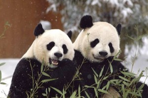 Mei Xiang and Tian Tian. (Photo by Mehgan Murphy)