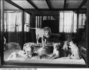 Exhibit of Atlas lions from the Teddy Roosevelt African Expedition of 1909 on display in the Natural History Building, United States National Museum, shortly after the museum opened in 1911.