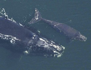 An earlier photo of Phoenix with her calf.