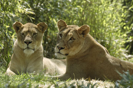 Sisters Naba and Shera have, so far, been successfully introduced to the male lion, Luke, as part of the National Zoo's attempt to build a breeding lion pride. (Photo by Jessie Cohen)