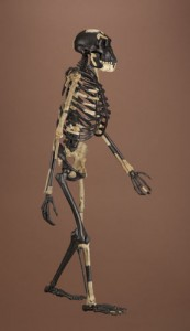 The 3.2-million-year-old skeleton of Lucy shows her species, Australopithecus afarensis, walked upright but also was still accustomed to climbing trees. (Photo by Chip Clark)