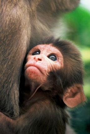 rhesus-macaque-babyr200747_