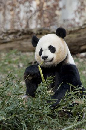 Giant panda Mei Xiang (Photo by Mehgan Murphy)