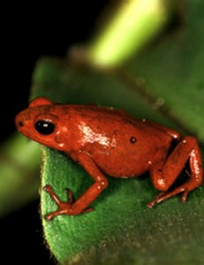 The Splendid Poison Frog (oophaga speciosa) has become extinct because of the ravages of the chytid pathogen.