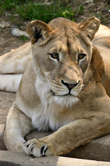 The National Zoo's 6-year-old lion, Nababiep, gave birth to one cub early this morning. Because it is not uncommon for intervals between births to be several hours long,