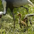 White-naped cranes at the Smithsonian Conservation Biology Institute.