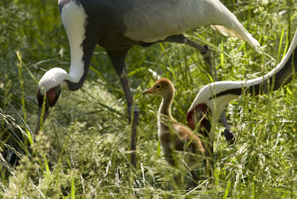 White-naped cranes at the Smithsonian Conservation Biology Institute. (Photo by Mehgan Murphy)