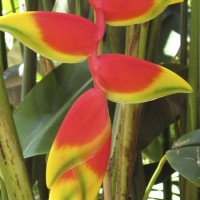 Lobster claw Heliconia