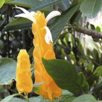 Pachystachys lutea, Golden Shrimp Plant