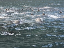 A welcoming committee of curious harbor seals (Photo by Wayne Clough)