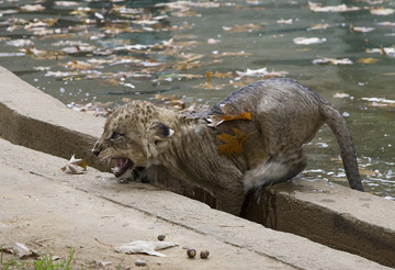 This cub doesn't seem to have enjoyed the experience. (Photo by Mehgan Murphy)
