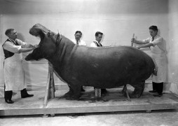 Taxidermists Julian S. Warmbath, Charles R. Aschemeier, Watson M. Perrygo, and William L. Brown mounting a hippopotamus for exhibition in the 1930s. Image from Smithsonian Institution Archives
