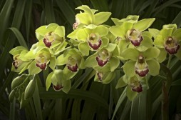 Cymbidium (Photo courtesy of James Osen)