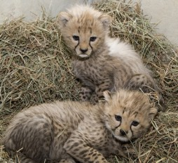 How to identify the cubs: The male cub is slightly larger than the female and has a prominent white mantle (the hair that runs along a cheetah cub's spine.) (Photo by Mehgan Murphy)