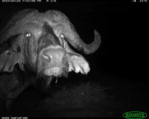 This African Buffalo was photographed in Kenya.
