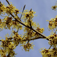 Witch-hazel (Hamamelis) is a genus of flowering plants, with three species in North America and one each in China and Japan.