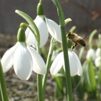 Most snowdrops flower in winter but some species flower in early spring and late autumn.