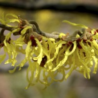 Witch Hazel Bloom