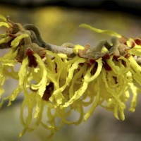Witch-hazel is a popular ornamental plant, grown for clusters of rich yellow to orange-red flowers which begin to expand in the autumn and continue throughout the winter.