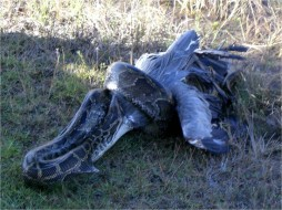 A python in the process of consuming a great blue heron (Photo courtesy of Carla Dove)