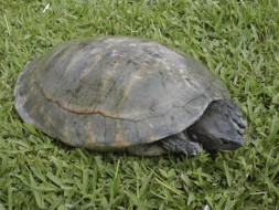 The Central American river turtle (Dermatemys mawii)