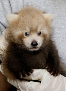 One of two red pandas born at the Smithsonian Conservation Biology Institute in Front Royal, Va., June 5, 2011. (Photo by Mehgan Murphy)