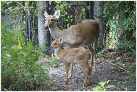 Yes, deer: Rare faun conceived through in vitro fertilization