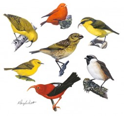 llustrated is a juvenile Laysan finch (center), and clockwise from the top: Hawaii akepa, Maui parrotbill, poouli, iiwi, Maui alauahio, and akiapolaau. Artwork © H. Douglas Pratt.