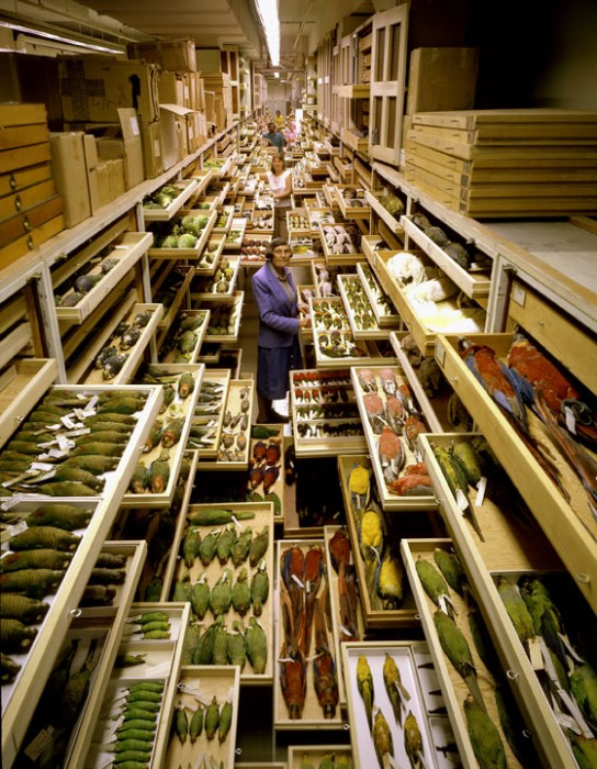 A famous image of the late Roxy Laybourne and the Natural History Museum's bird collection.