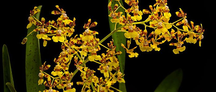 There's a good reason the annual orchid exhibition opens in February