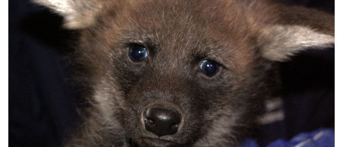 Putting the ow! in howl: Maned wolf pups get their vaccinations