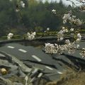 tsunami-and-cherry blossom
