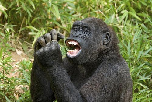 Kojo the gorilla eats some greens.