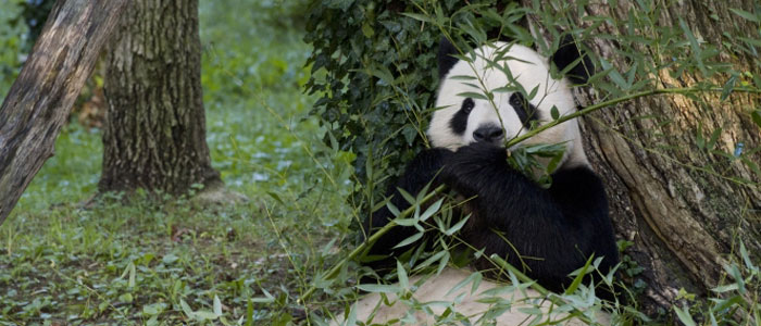 Climate change is a major threat to giant pandas